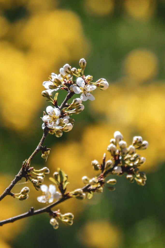 Frühlingsblüten Sanspareil