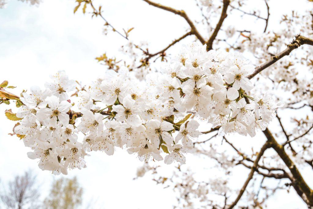 Weiße Fruehlingsblueten